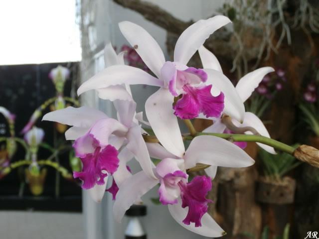 Orquideas, Orquidea, Orquidario de Estepona