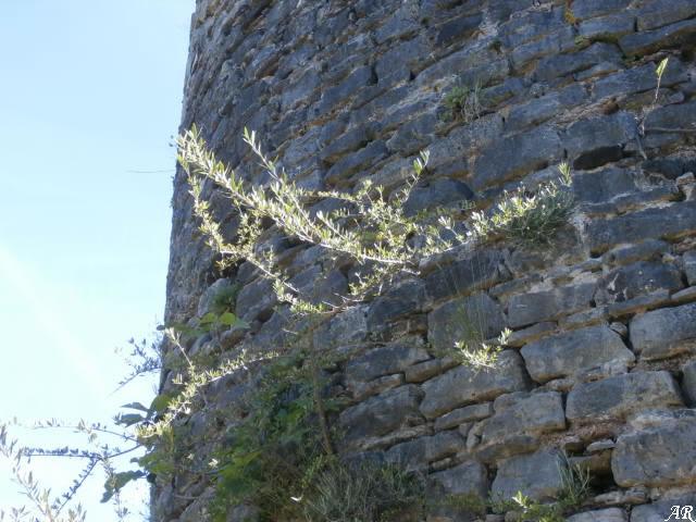 El Acebuche de la Torre Vigía de Cortes de la Frontera