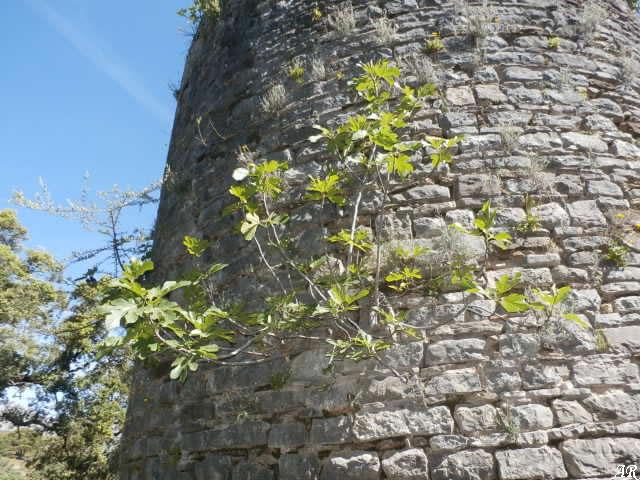 Higuera y Acebuche de la Torre del Paso