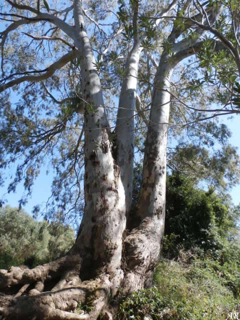 Eucaliptus del Parque Natural de los Alcornocales - Río Hozgarganta