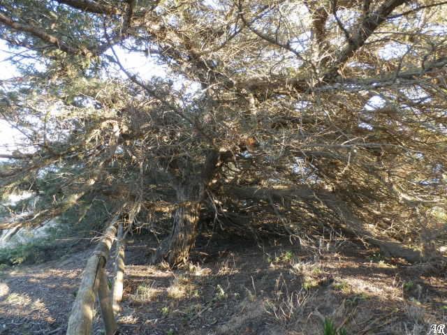 Parque Natural La Breña y Marismas del Barbate - Enebro