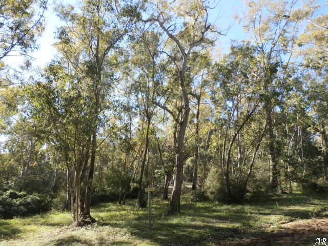 Parque Natural la Breña y Marismas del Barbate - eucaliptus botryoides