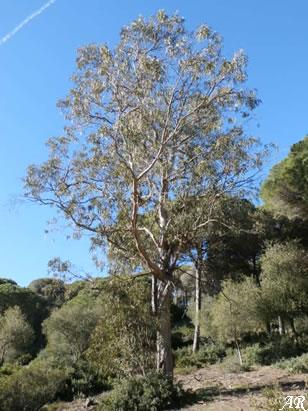 Parque Natural La Breña y Marismas del Barbate - eucaliptus globolus