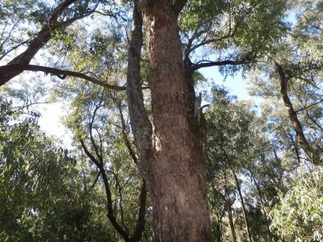 Parque Natural La Breña y Marismas del Barbate - eucaliptus gonphocephala