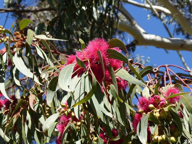 Arboretum of El Colmenar - Cortes de la Frontera - The Eucalyptus