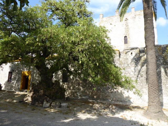 Ombú del Castillo de Gigonza